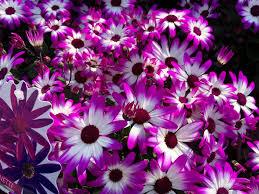 blossom white flower purple petal