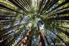 giant redwood forest canopy wall mural