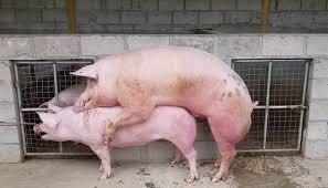 3 Pasos Para Un Buen Manejo De Cerdos Verracos En Una Granja