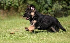 s dog puppies german shepherd