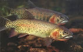 brook trout wallpaper on hipwallpaper