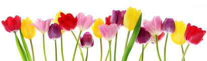 Spring tulip flowers in a row - Buy this stock photo and explore ...