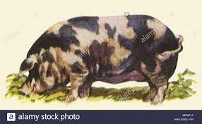 Poland China Hog Stock Photo - Alamy
