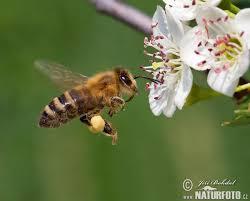 Místo pro život - didaktický portál | Včela