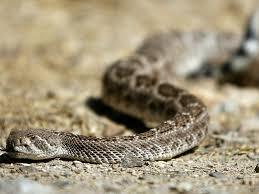 10 Tips For Surviving Rattlesnake Season In Tucson Local News Tucson Com