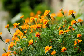 essential guide for growing marigold plants