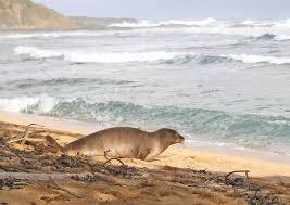 Hawaiian monk seal released back to wild on Kauai after care at Ke Kai Ola  | West Hawaii Today