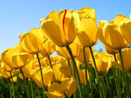 ورد أصفر حلو خلفيات رائعة صور ورد وزهور Rose Flower Images
