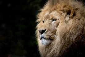 lion head close up photo hd wallpaper