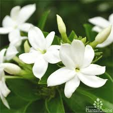 bunga melati putih or arabian jasmine are known as bunga suci