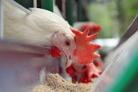 nutritional requirements of poultry