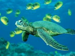 cute turtle wallpaper images sea