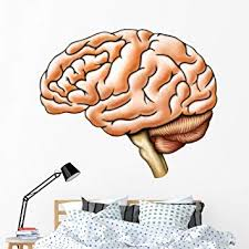 Amazon Com Wallmonkeys Brain Anatomy Wall Decal Peel And Stick Business Graphics 60 In W X 47 In H Wm88956 Furniture Decor