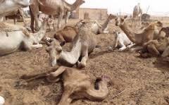38 من الابل الموريتانية محتجزة فى قرية