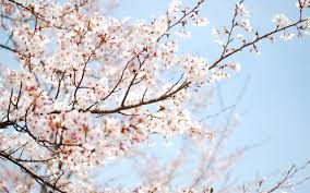 تحميل خلفيات الربيع المزهرة الكرز عريضة 2560x1600 جودة عالية
