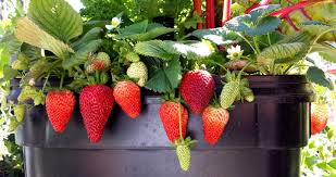 grow your own organic strawberries at