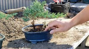 watering your bonsai tree