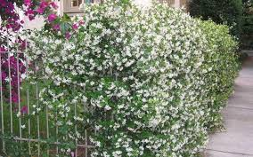 Buy Fragrant Confederate Jasmine Vine Free Shipping For Sale Online From Wilson Bros Gardens