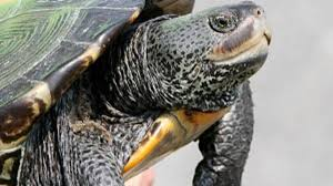 It S The Time Of Year When South Jersey S Terrapins Risk Their Lives Crossing Roads To Lay Their Eggs Latest Headlines Pressofatlanticcity Com