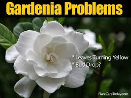 gardenia pests diseases leaves
