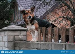 Dog Look At Outside On The Fence Stock Image Image Of Cote Crate 184714855