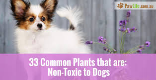 plants that are non toxic to dogs