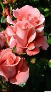 flower wallpapers phone rose flowers