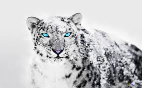 snow leopard wallpapers top free snow