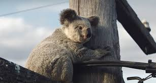 nrma insurance launches koala