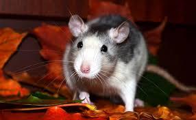 le rat domestique adopter et élever