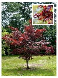 japanese maples for small gardens