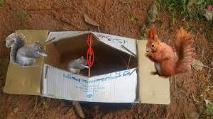 awesome quick squirrel trap using box