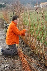 Could It Be This Simple Hmmmm The Living Willow Fence In Short You Take Long And Straight Willow Stems And P Living Willow Fence Willow Fence Living Willow