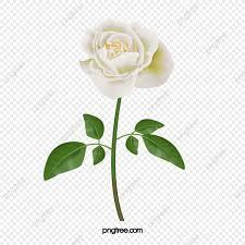 وردة بيضاء أبيض ارتفع غير مرتبطة Png وملف Psd للتحميل مجانا