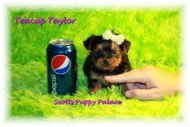 teacup puppies must see