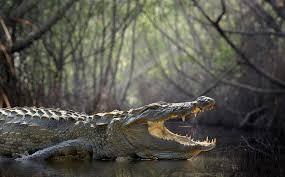 Alligator Symbolism Dreams And Messages Spirit Animal Totems