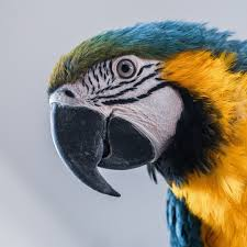 parrots talk pet birds by lafeber