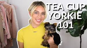 smallest dog ever teacup yorkie