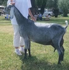 Saada Dairy Goats 15 Nez Perce Dr Cody Wy 2020