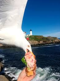 seagull who stole lobster roll