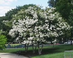 WHITE Crape Myrtle Tree (22' Crisp Snow White)
