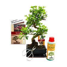 bonsai ligustrum chinese privet