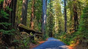 road through redwood forest 8k ultra hd