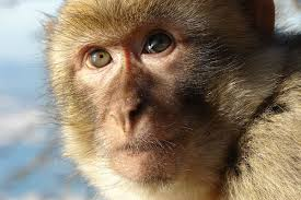 parison of monkey and human brains