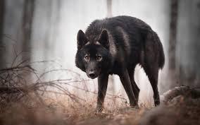 تحميل خلفيات الذئب الأسود الحياة البرية الغابات الذئاب