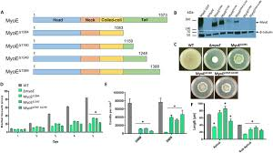 The tail domain of the Aspergillus fumigatus class V myosin MyoE  orchestrates septal localization and hyphal growth | Journal of Cell Science