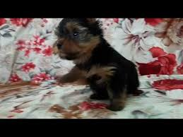 teacup yorkshire terrier puppies for