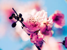 صور زهور ورديه