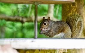 how to build a squirrel proof enclosure