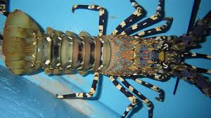 SPINY LOBSTER: A Goldmine From The Sea ...
